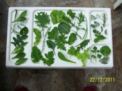 FG 30 salad leaves at the winter solstice