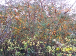 FG Sea buckthorn